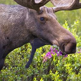 18 Moose, UT