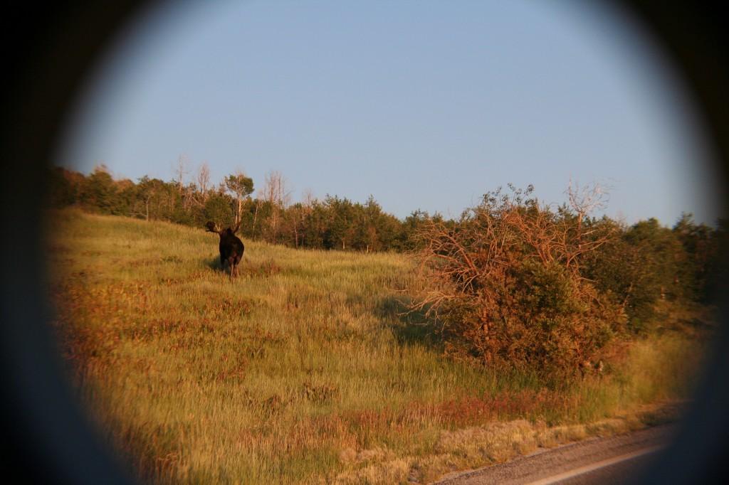 39_moose