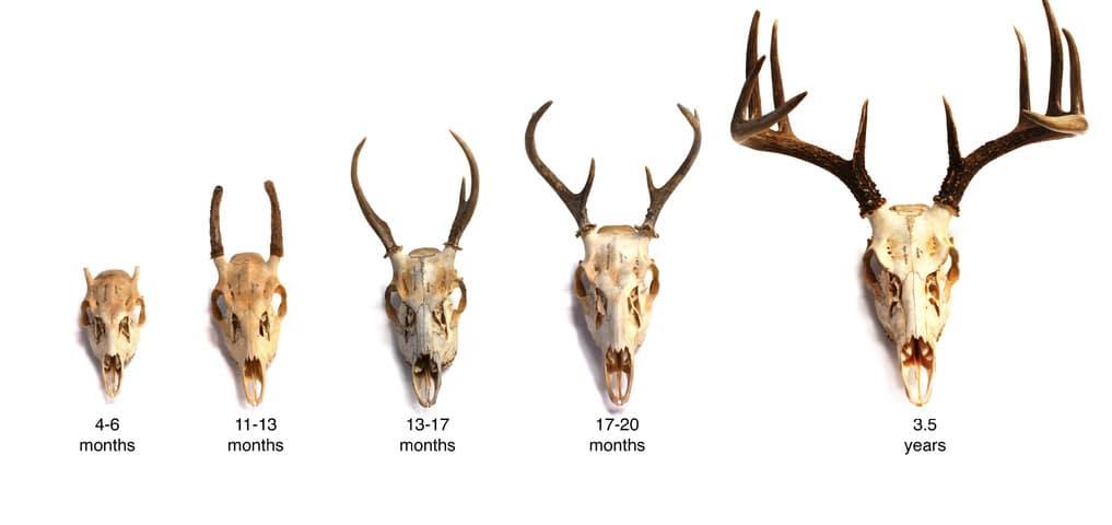 whitetail deer_age